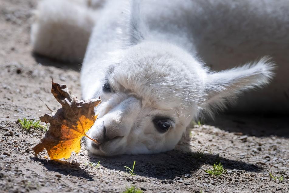 Süß! Ein Alpaka-Junges rekelt sich in der Sonne.