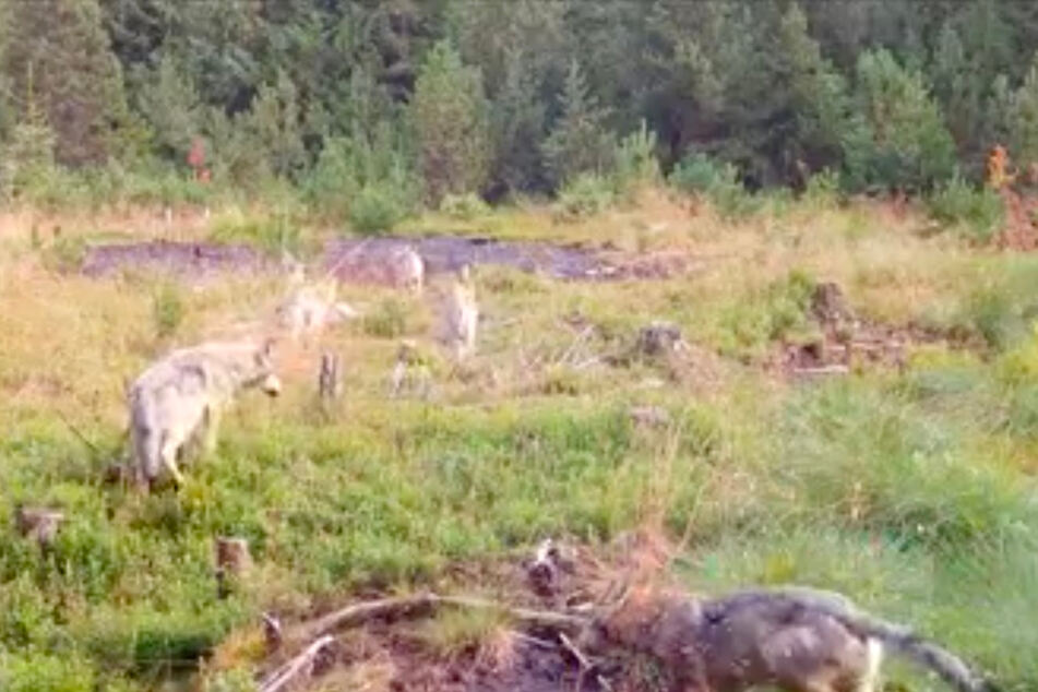 Das Rudel von Výslunì ist regelmäßig in sächsischen Wäldern unterwegs und wird dort von den Wildtierkameras des Naturkundemuseums Chemnitz dokumentiert.