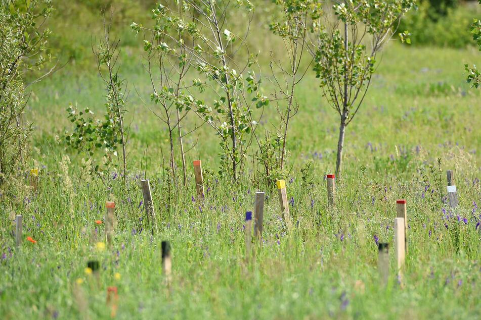 Heute ein grünes Biotop: Die Bäume und Sträucher auf dem Gelände der Stadtentwässerung in Kaditz wachsen und gedeihen.