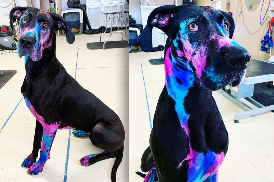 "What happened to this dog? ""Galaxy Dane"" confuses everyone!"