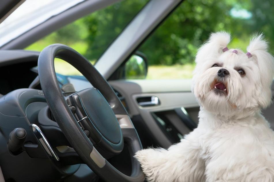 So wird man hartnäckigen Hundegeruch im Auto los
