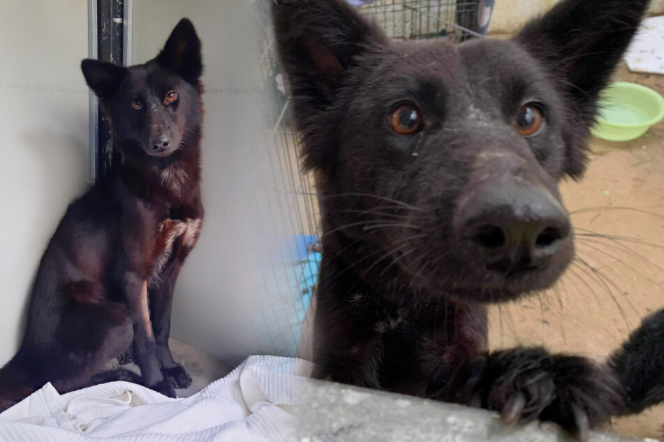 Traumatized dog rescued from brutal conditions in slaughterhouse