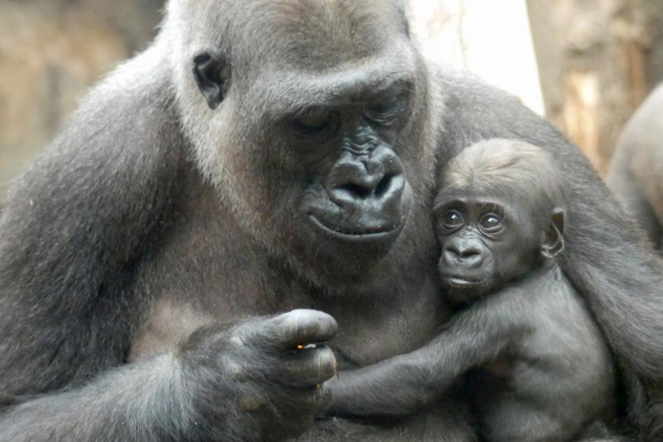 Gorilla Shira hält in ihrem Gehege im Frankfurter Zoo ihren Sohn Arco in den Armen.