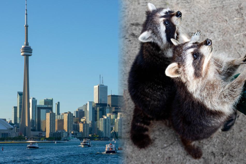 Diese Metropole hat ein Waschbären-Problem: Was der Lockdown damit zu tun hat