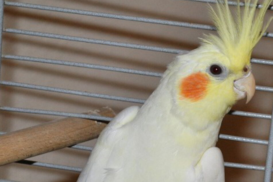 Verrückte Entdeckung: Herrenloser Papagei am Cossi gefunden