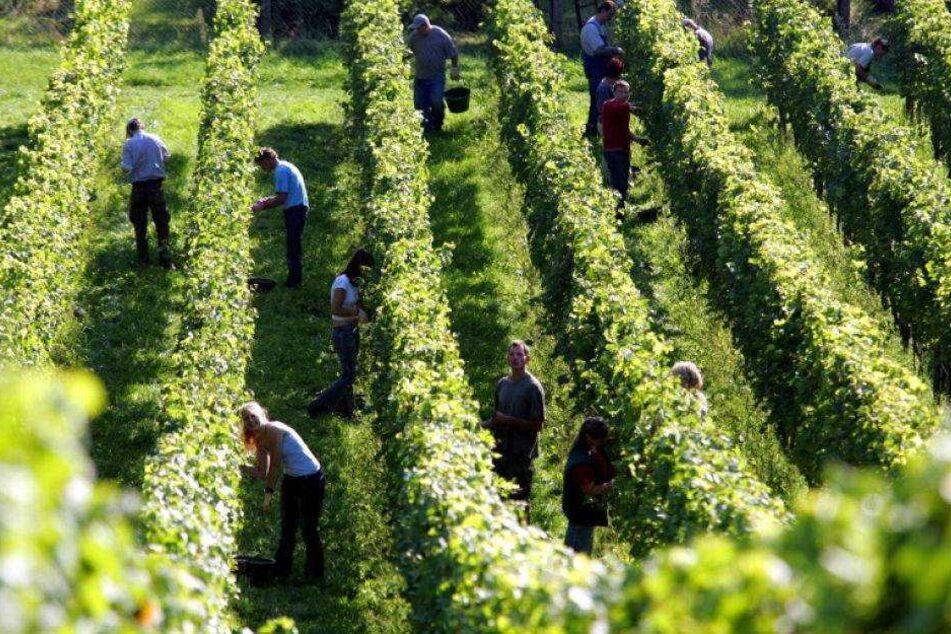 Behörde schlägt Alarm: Insektengift in Meißner-Wein