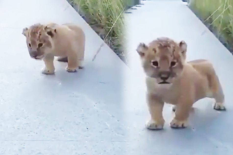 """Dieser kleine Löwe tritt unfreiwillig in die Fußstapfen von Simba aus """"König der Löwen""""."""