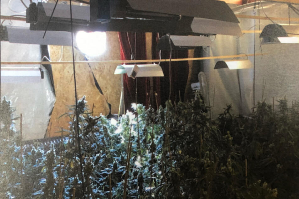 Die Polizei hat im September eine Drogen-Plantage mit rund 600 Hanf-Pfanzen entdeckt.