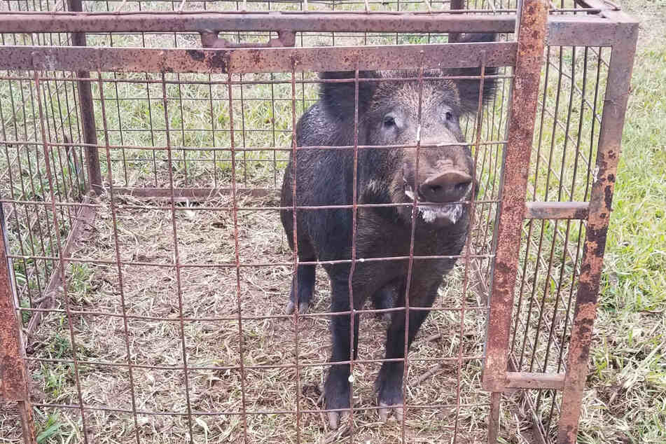 Bad bacon: killer hogs threaten to take over Texas!