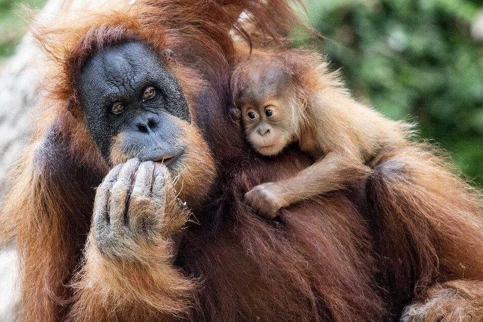 """Das Orang-Utan Baby """"Batu"""" hängt im Arm seiner Mutter """"Toba""""""""die im Gehege des Tierparks Hagenbeck Kokosnüsse verzehrt."""