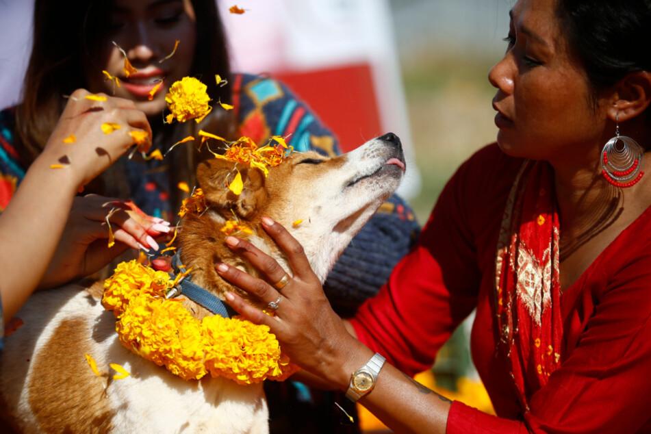 Tierschützerin Sneha Shrestha schmückt am Kukkur Tihar-Hundefest einen geretteten verletzten Hund mit Girlanden und zinnoberroten Farben im Sneha's Care Tierheim.