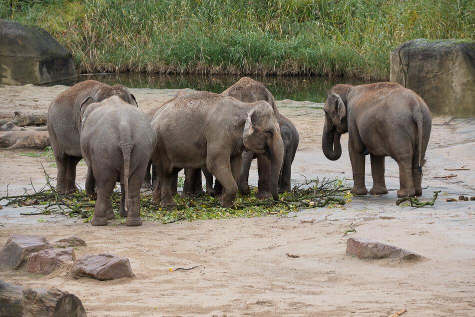 Im Kölner Zoo leben derzeit 13 Elefanten.