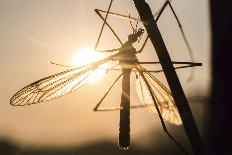 So werden Stechmücken im Land bekämpft