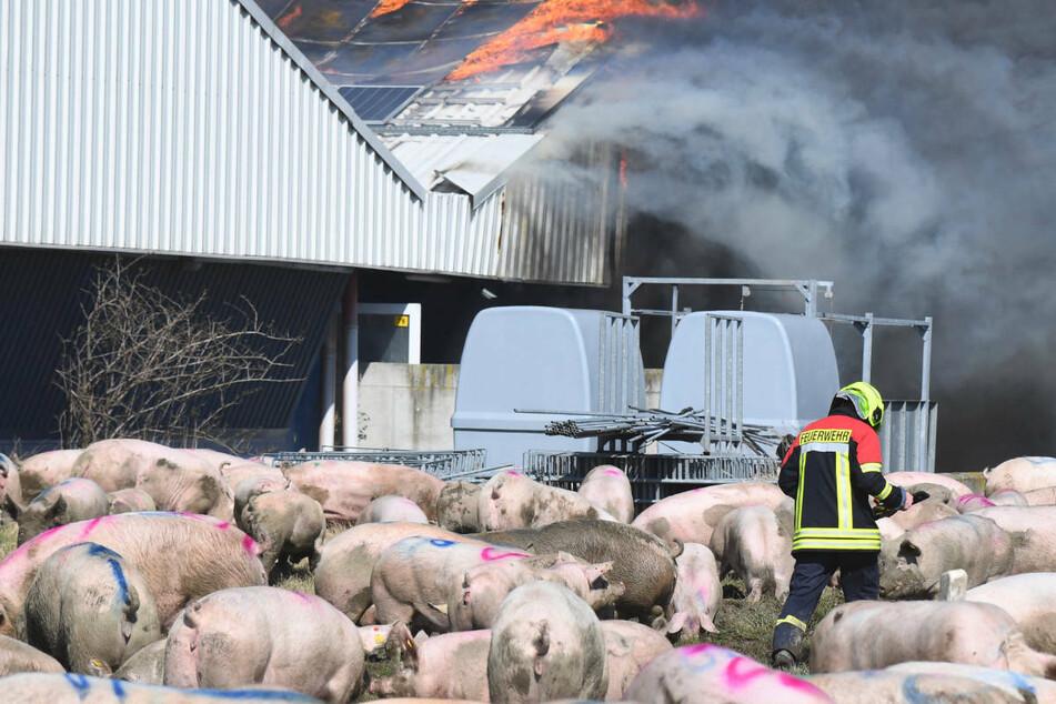 Verheerende Bilanz nach Großbrand in Schweinezuchtbetrieb: Mehr als 50.000 Tiere tot?