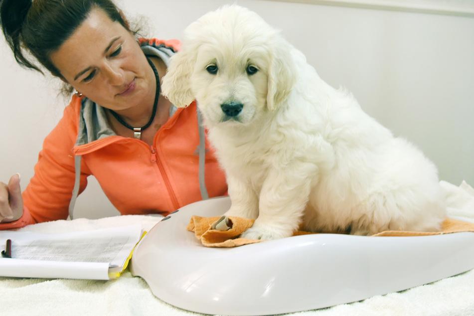 Die Züchterin und Tiertrainerin Bettina Krist überprüft bei einem kleinen Golden Retriever-Welpen das Gewicht auf einer Hundewaage.