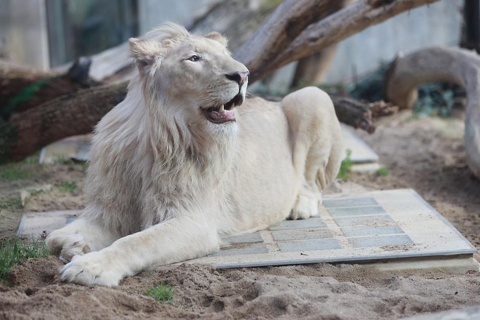 """Mann darf weißen Löwen """"Mojo"""" nicht im Privatbesitz halten"""