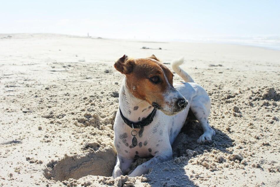 Früher oder später packt jeden Hund einmal das Buddel-Fieber.