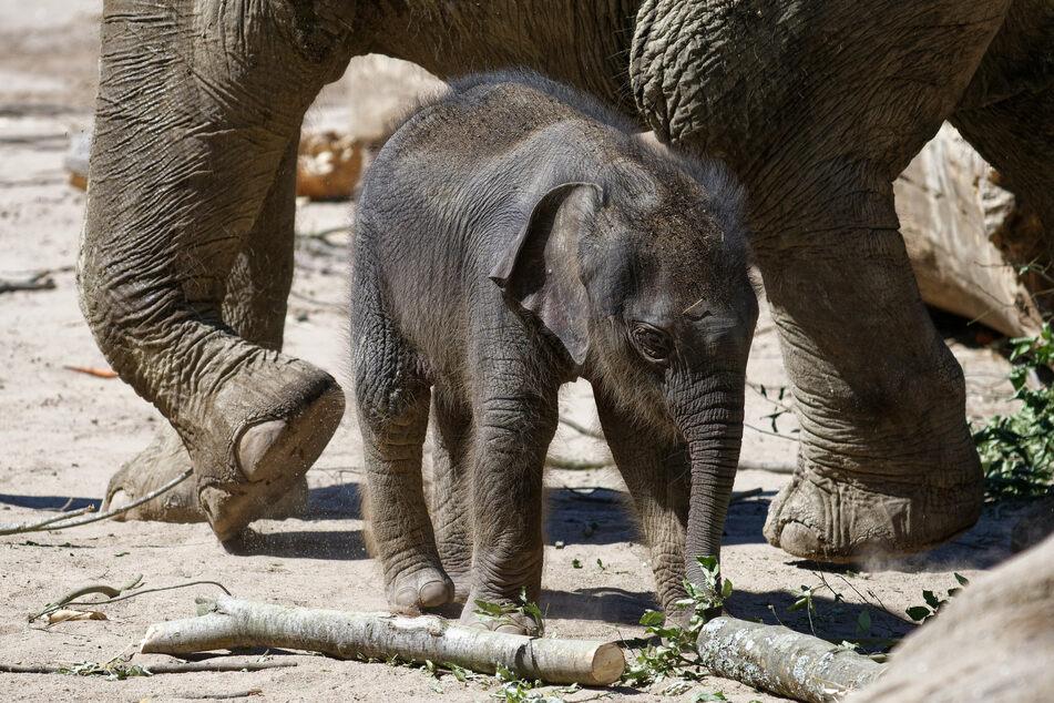 """Das kleine Elefantenmädchen """"Leev Ma Rie"""" steht mit seiner Mutter """"Shu Thu Zar"""" im Sommer 2020 im Elefantenpark im Kölner Zoo. Der Zoo will bald wieder öffnen."""