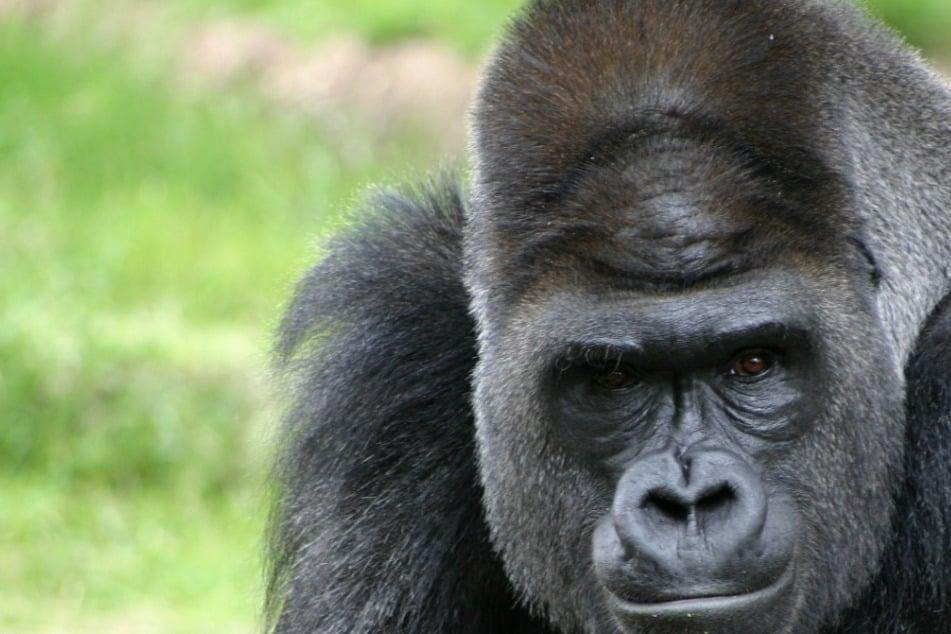 Gorilla erholt sich von Corona-Infektion: Donald Trump wurde ähnlich behandelt