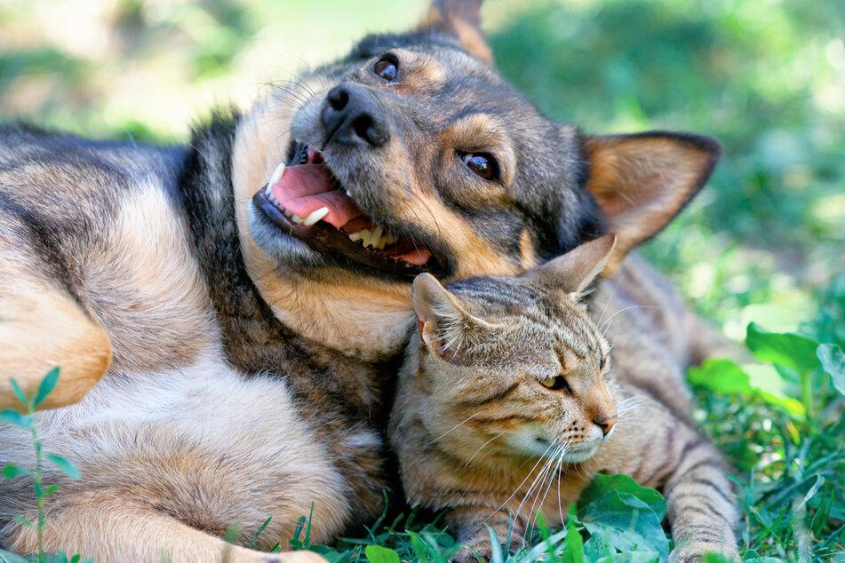 """""""Was eure Haustiere allein daheim treiben"""": Im Nachfolger zum Internet-Hit treffen Hund und Katze aufeinander. (Symbolbild)"""