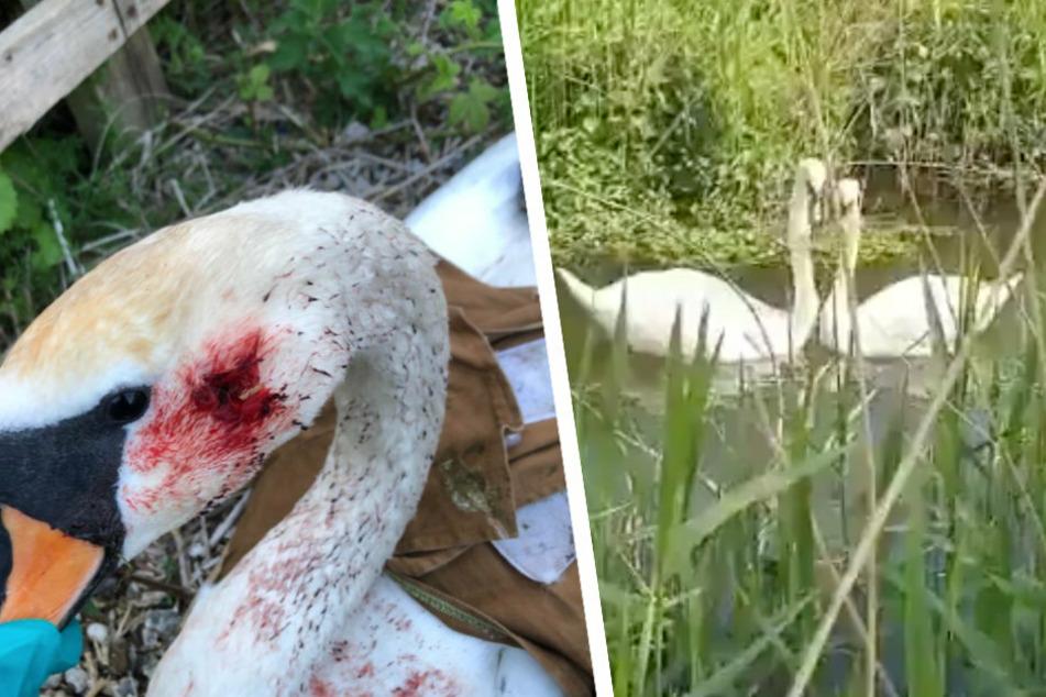 Die Kugel konnte aus dem Kopf des Schwanes entfernt werden (links). Nach erfolgreicher Genesung konnte der Schwan endlich zu seinem Begleiter zurückkehren (rechts).