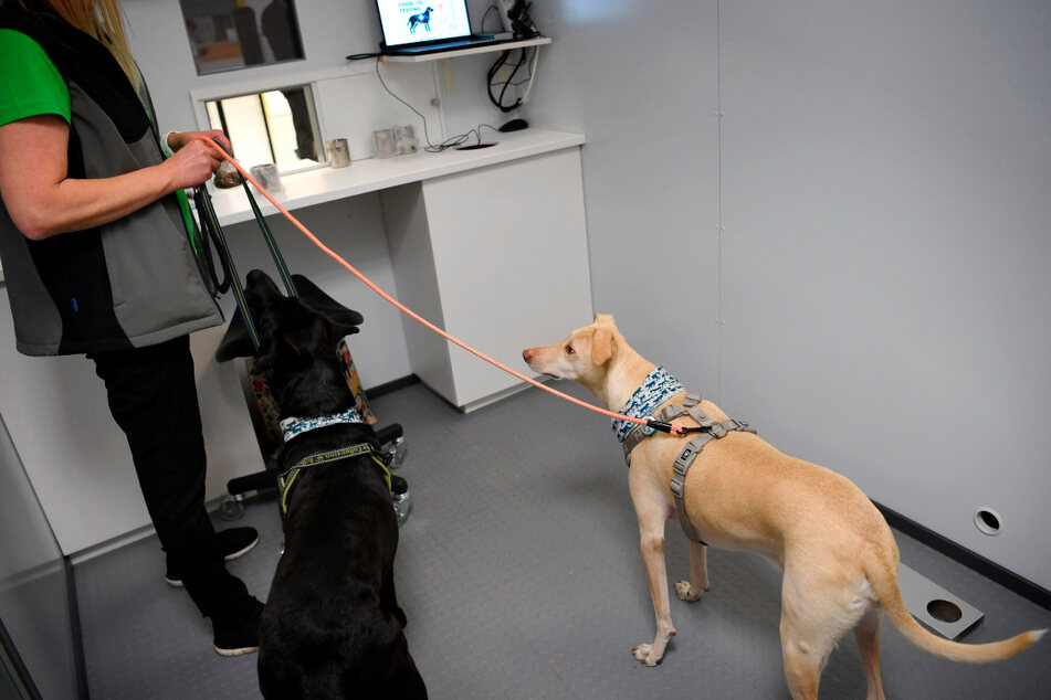 Die Spürhunde Miina (l.) und K'ssi präsentieren ihre Fährigkeiten während einer Pressekonferenz am Flughafen Helsinki-Vantaa.