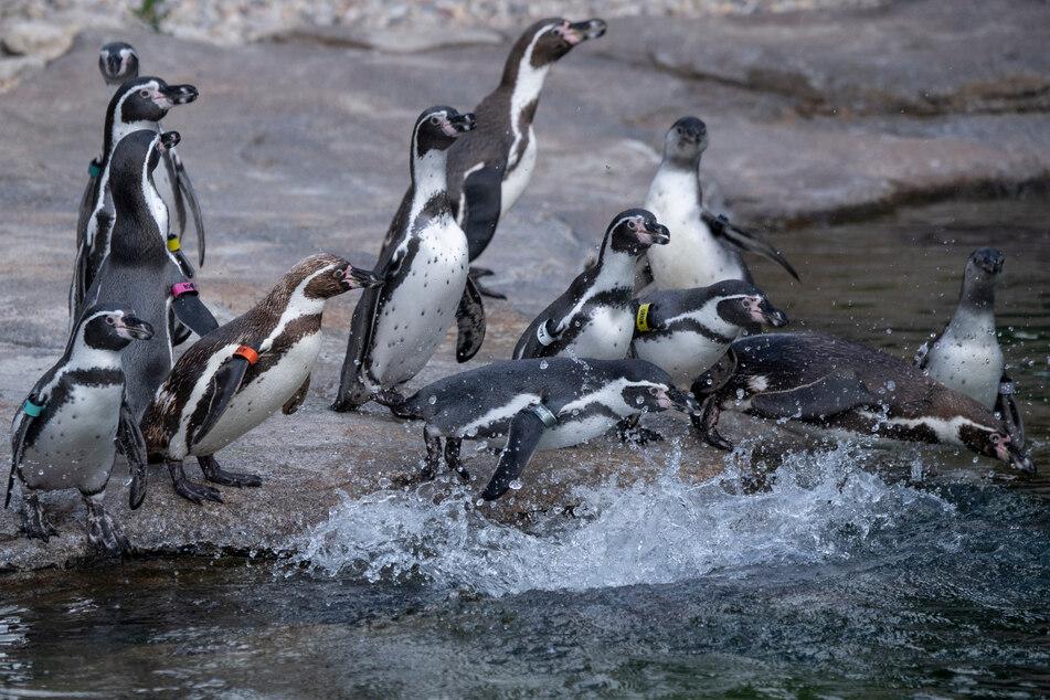 Pinguin-Parade wird zum Internet-Hit: Hunderttausende schauen jeden Abend live zu