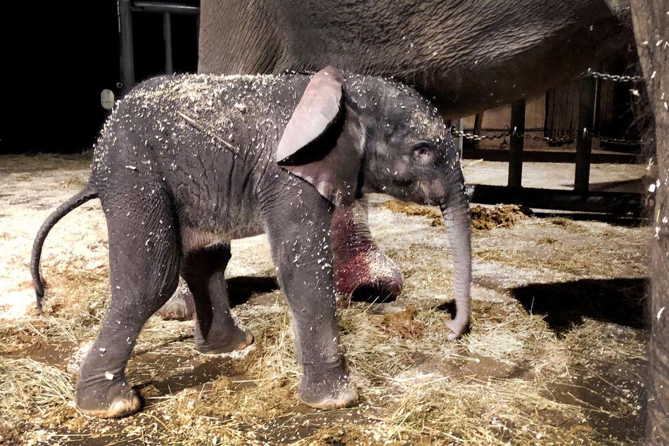 Der kleine Tsavo kurz nach seiner Geburt am Freitag.