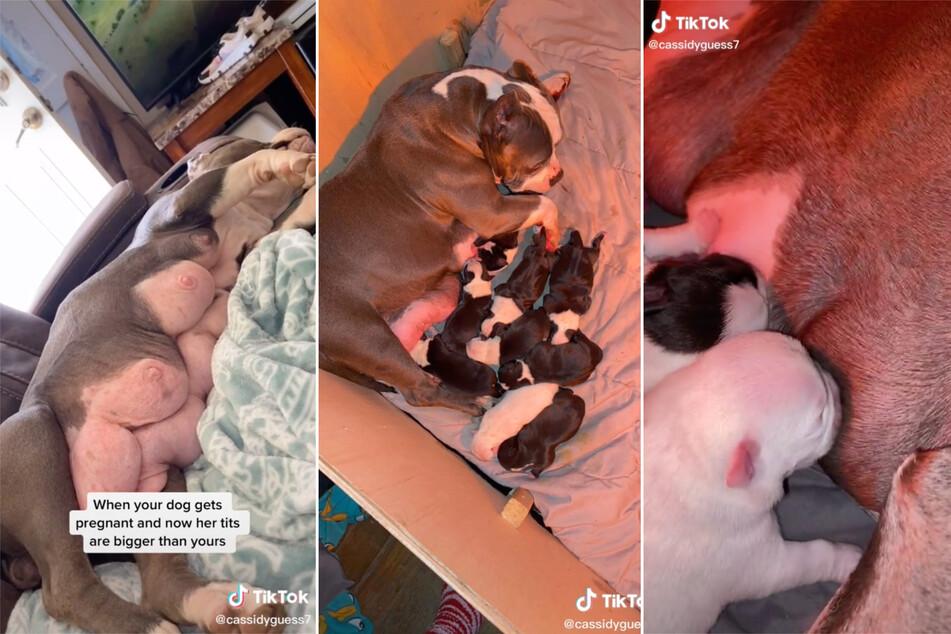 Gleich zehn Welpen auf einmal hat Ivey zur Welt gebracht und die kleinen Hündchen haben offensichtlich viel Hunger.