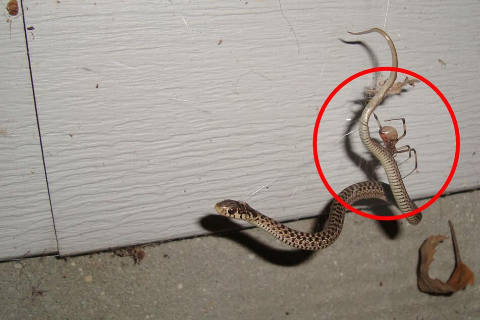 Eine junge Strumpfbandnatter ist in dem Netz einer Schwarzen Witwe gefangen.