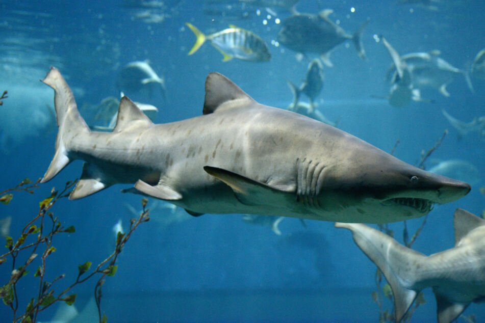 Superwoman: pregnant wife rescues her husband from a shark attack