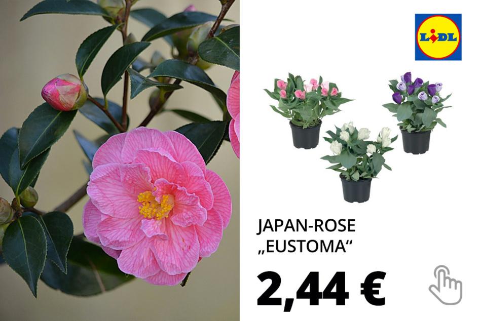 """Japan-Rose """"Eustoma"""""""