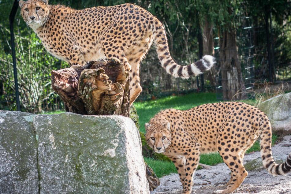"""Die eineinhalb Jahre alten Geparden-Brüder Zawadi (links) und Haraka stehen in ihrem Gehege im Zoologisch-Botanischen Garten """"Wilhelma"""" in Stuttgart."""