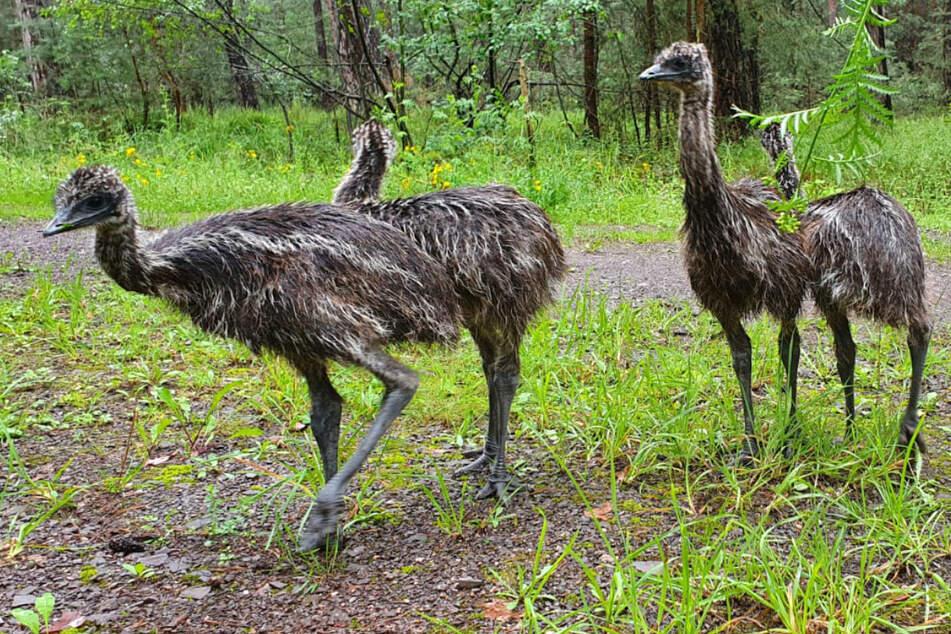 Das Foto zeigt die vier Laufvögel, die am Dienstag durch einen Wald in Rheinland-Pfalz stapften.