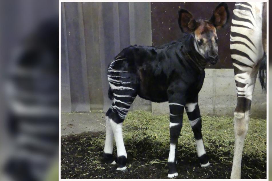 Noch ist das Okapi-Jungtier nur sehr selten zu sehen.