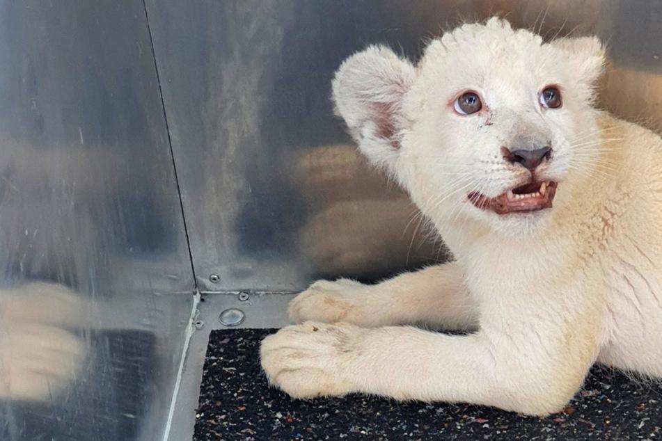 Nach Unfall auf der Autobahn: Löwen-Baby Lea kommt nach Spanien