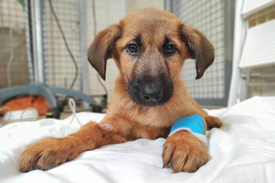Ein Hundewelpe aus illegalem Welpenhandel, liegt auf einer Decke im Tierheim Berlin. Das Jungtier ist mittlerweile gestorben. In Berlin startet am Mittwoch eine Kampagne gegen den illegalen Welpenhandel.