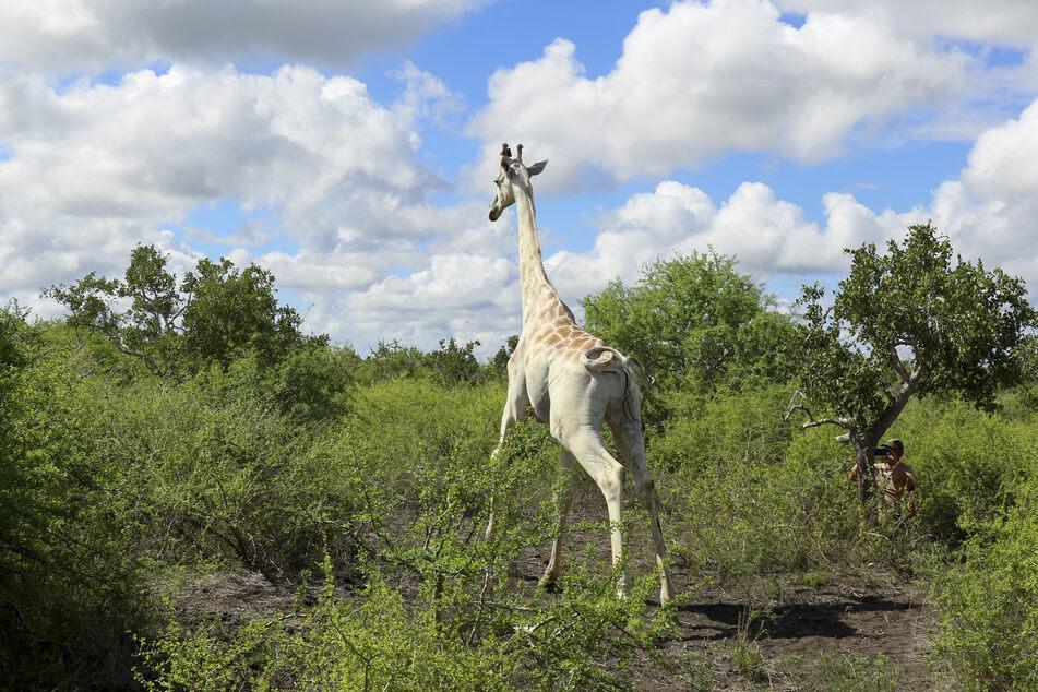 Durch den seltenen Gen-Defekt Leuzismus ist die Giraffe weiß. Das macht sie für Wilderer umso begehrter.