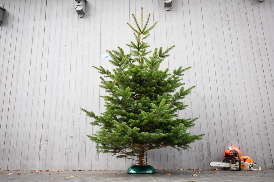 Schöne Bescherung: Dank Corona werden Weihnachtsbäume in NRW wohl teurer