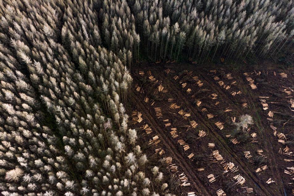 Blomberg (NRW): Zurechtgesägte Baumstämme liegen wie Streichhölzer rund um einen einzelnen abgestorbenen Baum in einem Wald.