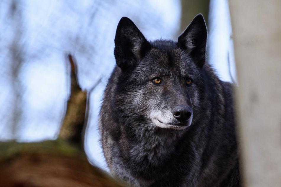 Wölfe: Warnung von Tierschützern: Wolfshybride sollten nicht als Haustiere gehalten werden!