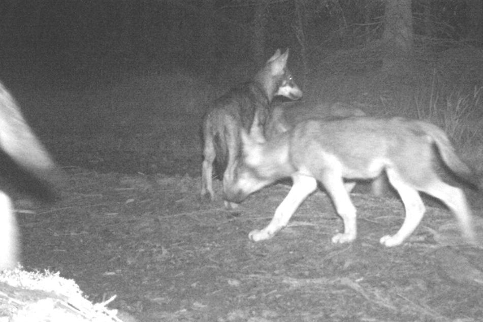 Ein weiteres Wolfsrudel wurde von Forschern im deutsch-tschechischen Grenzgebiet nachgewiesen.