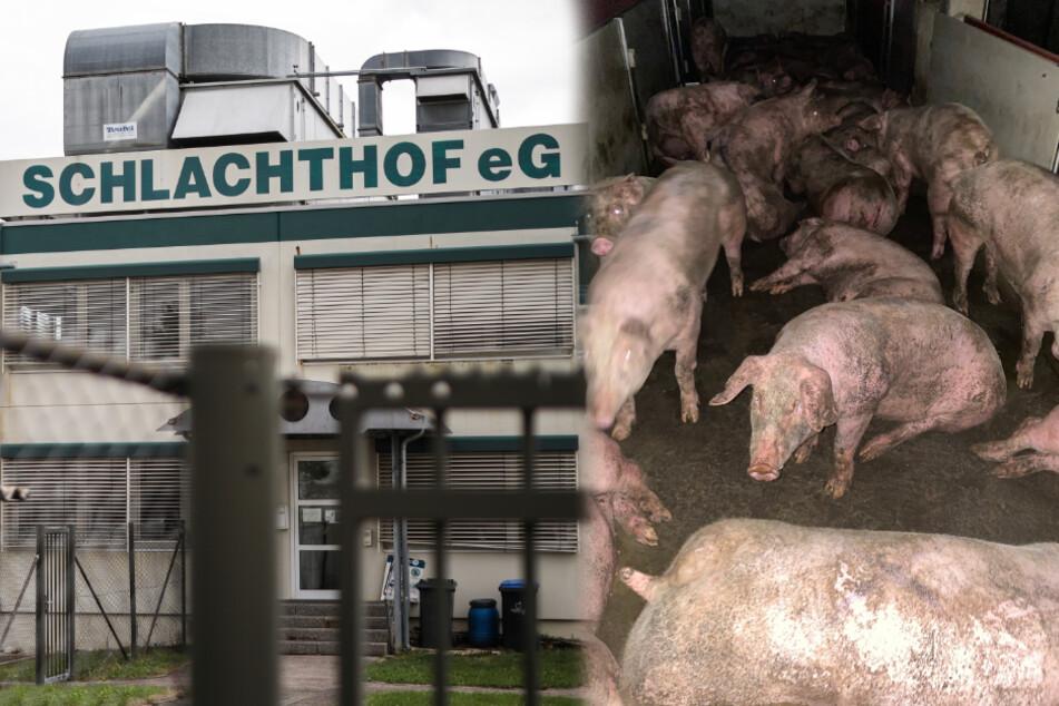 Nach Vorwurf der Tierquälerei: Schlachthof bessert nach