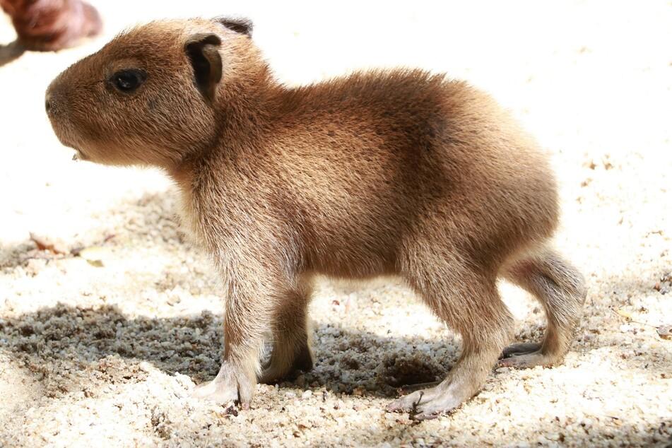 Bei den Capybaras im Chemnitzer Tierpark sind drei Jungtiere angekommen. Der Nachwuchs erkundet noch ein wenig schüchtern das Gehege.