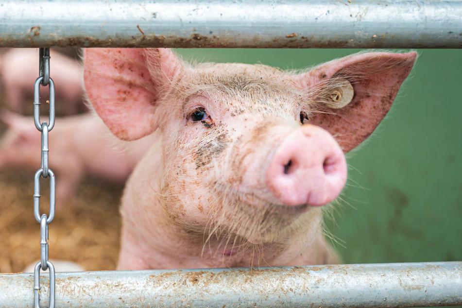 Die Afrikanische Schweinepest ist bei zwei Haltern aus Brandenburg erstmals bei Hausschweinen nachgewiesen worden. (Symbolfoto)