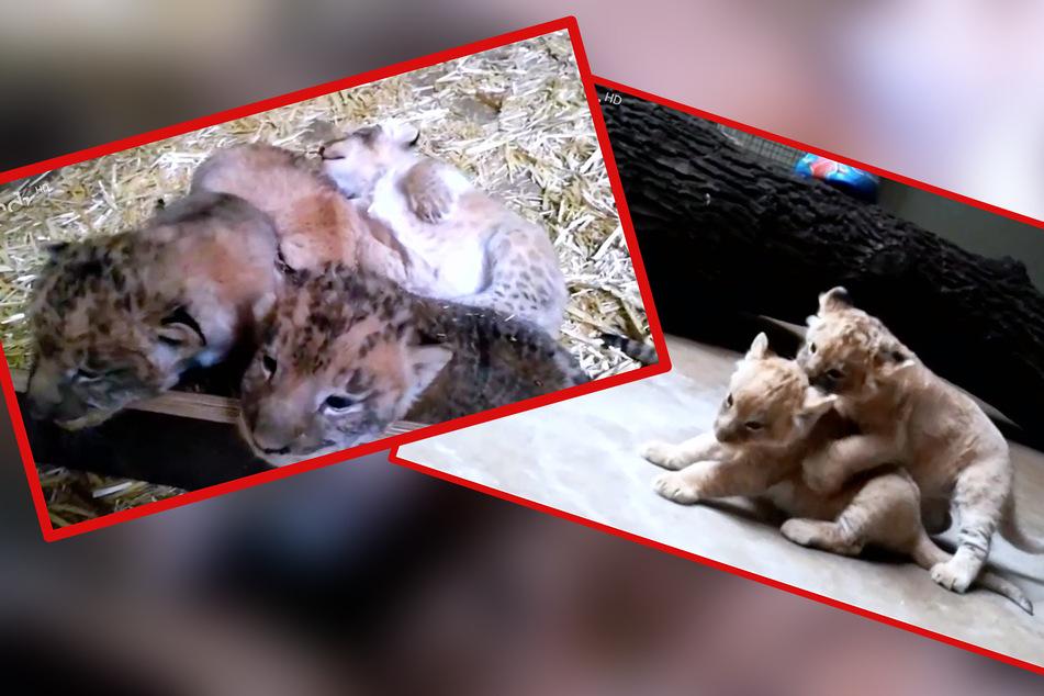 Die vier Löwenbabys entwickeln sich bisher prächtig. Hoffentlich geht es auch weiterhin so positiv weiter.