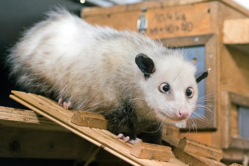 Das auf der ganzen Welt bekannte, schielende Opossum Heidi war einer der ersten Bewohner des Gondwanalands, lebte aber schon vorher im Leipziger Zoo.