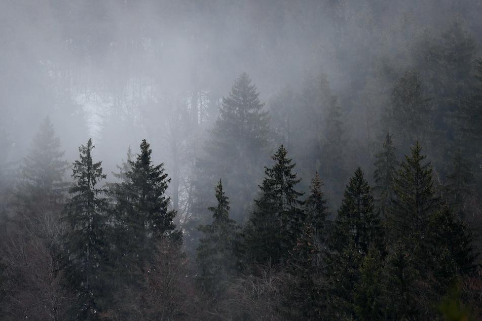 Nebel hängt in den Baumwipfeln im Tannenwald bei Garmisch-Partenkirchen.