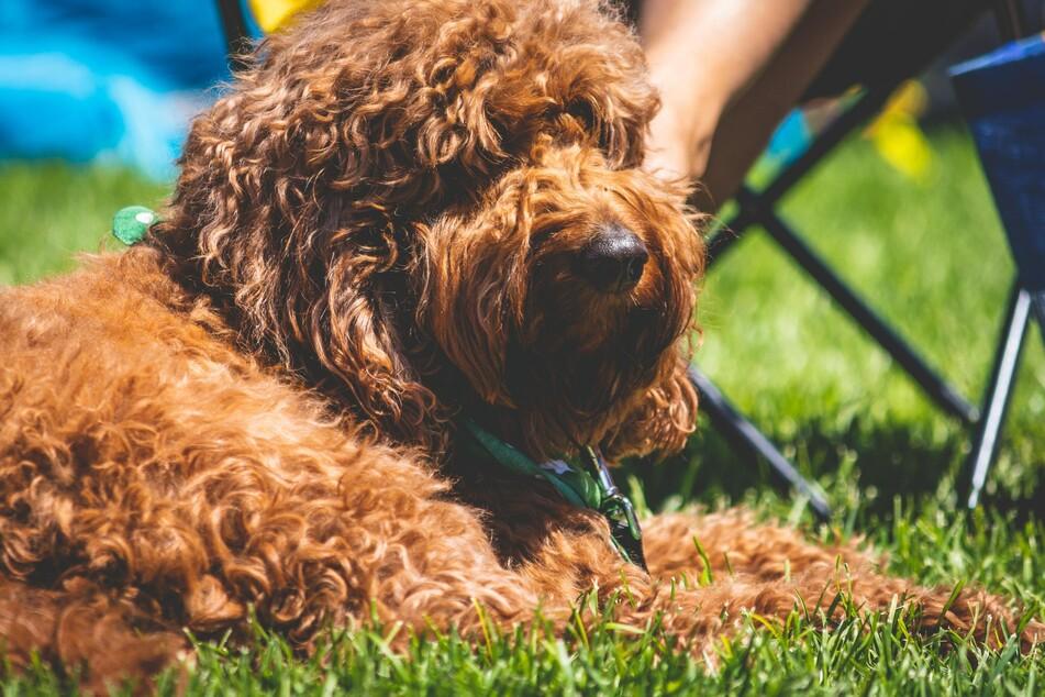 Hunde sind für Marder eine Bedrohung und schon ihr Geruch kann sie vertreiben.