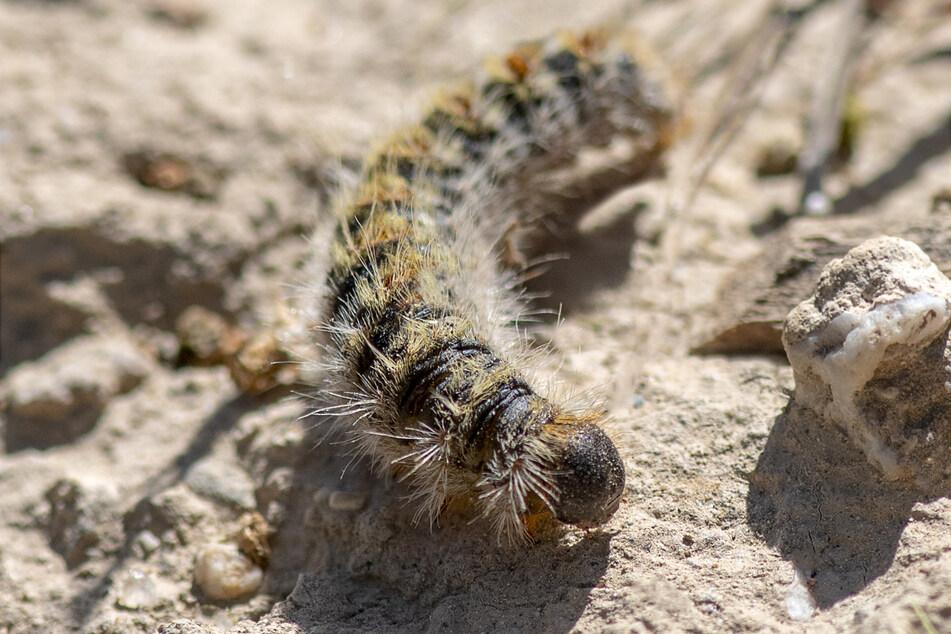 Diese kleine Raupe kann für Mensch und Tier gefährlich werden.